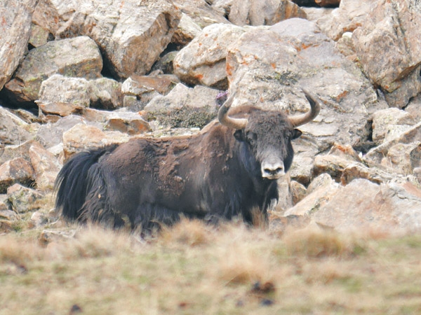 [Image: 20150421extinct-wild-yak-found-in-humla-study-600x0.jpg]
