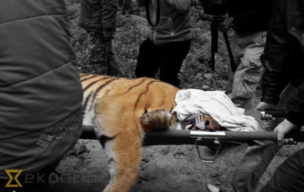 Rare Royal Bengal Tiger found dead in Chitwan