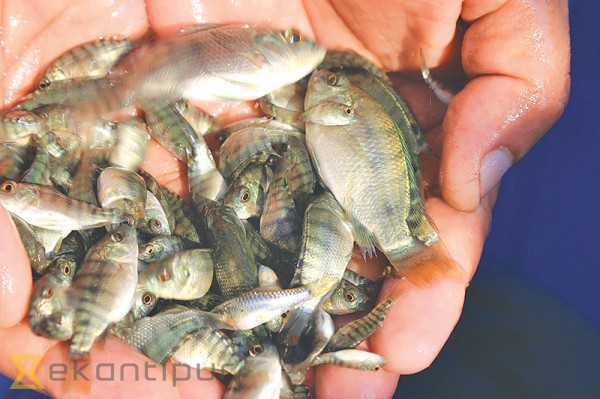 Tilapia the kathmandu post for Tilapia not real fish