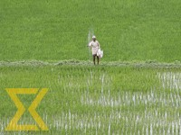 A farmer sprinkles fertilizer in his paddy field at Khokana, Lalitpur on Sunday.