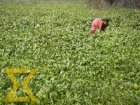 A local farmer plucks mustard leaves for vegetables at the fields in Khokana in Lalitpur on Saturday.