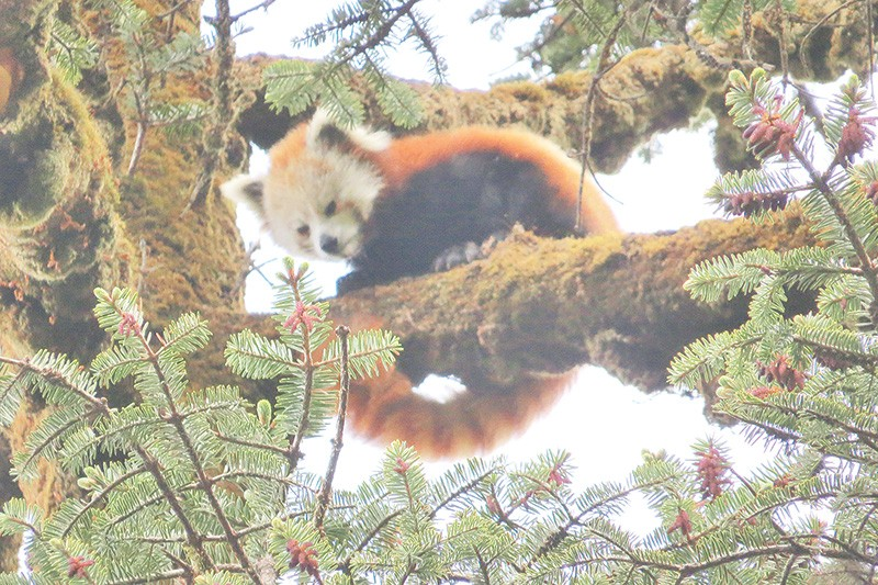 Image of: Wwf Endangered Red Pandas Found In Tehrathum Cbcca Endangered Red Pandas Found In Tehrathum General The Kathmandu Post