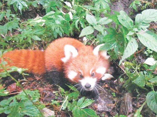Two held with red panda hides in Jhapa - National - The Kathmandu Post