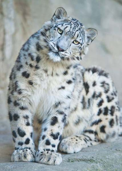 The 2008 Census Puts Leopard Potion At 2 335 In Utttarakhand