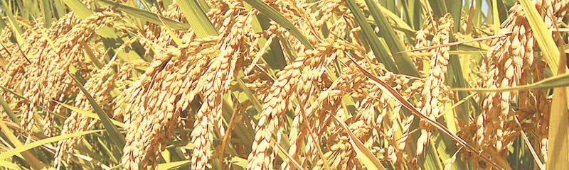 Govt all set to fix MSP for paddy