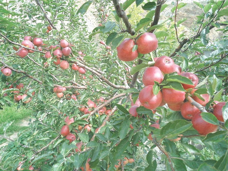 Apple Production Falls In Mustang As Mercury Rises Money The
