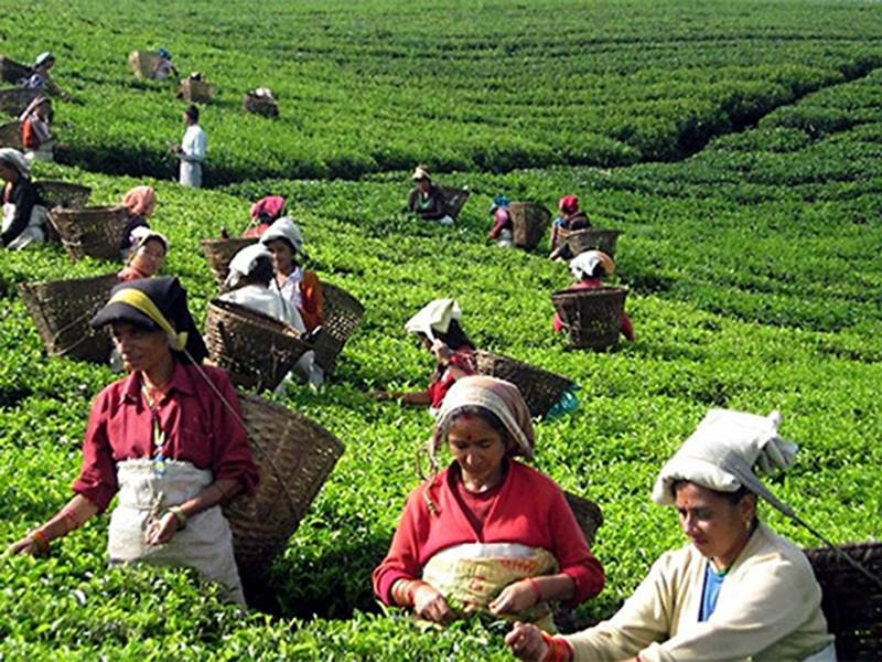 worlds primary tea producer - 800×600